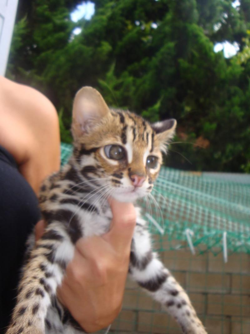 "Our Asian Leopard Cat ""Bugsy"""